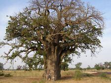 ADANSONIA DIGITATA 5 semi  Baobab, Albero bottiglia Bottle baobab seeds semillas