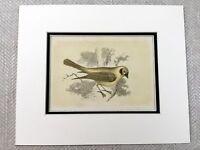 1853 Antico Stampa Golden Piranga Uccello Ornitologia Originale Vittoriano