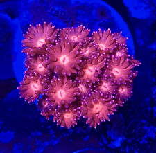 Pink & Red Goniopora- Wysiwyg - Goni - Combined Shipping!