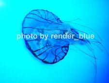 ❤️ DIGITAL PICTURE/PHOTO/DESKTOP BACKGROUND FREE SHIPPING BLUE JELLYFISH