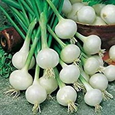 WHITE SPRING ONION - DE BARLETTA (500 SEEDS)
