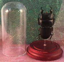 F-36 Entomology Taxidermy Black Stag Beetle Short Horn Beetle Glass dome Display