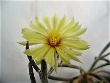 10 seeds. Digitostigma (Astrophytum) caput-medusae Pp1569,