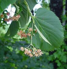 Tilia americana AMERICAN LINDEN or BASSWOOD TREE Seeds!