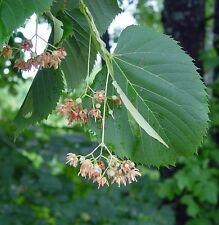 Tilia americana AMERICAN LINDEN or BASSWOOD TREE Seeds!