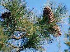 peau de serpent PIN plante Pinus Leucodermis