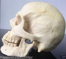 New Resin Replica Life Human Skull Model Medical Anatomy Halloween Collectable
