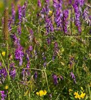 Wildflower Seeds - Tufted Vetch - 100 Seed