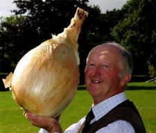 50 Pcs Giant Onion Seed Spanish Heirloom Organic Vegetable Garden Bonsai Plant