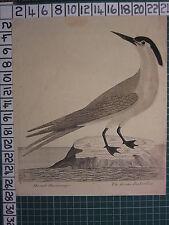 c1735 THE GREATER SEA SWALLOW ~ ANTIQUE BIRD PRINT ELEAZER ALBIN ~