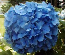 100 ** BLUE HYDRANGEA NIKKO **SEEDS FLOWERING TREE SHRUB PLANTS PERENNIAL