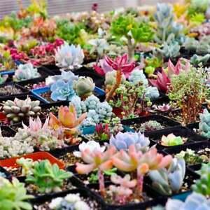 Mixed Mini Colourful Succulents Cactus Seeds Bonsai Garden