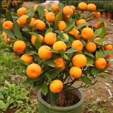 30 seeds hybrid orange bonsai fruit seeds
