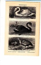 1907   SWIMMING BIRDS SWAN Antique Lithograph Print