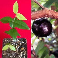 Red Hybrid Jaboticaba Myrciaria Plinia cauliflora x aureana Fruit Tree Plant