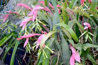 Bromeliad Queens Tears 5 Plants - Friendship Plant -Indoor/Outdoor Easy grow!