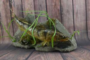 "Walleye Zander 15"" fish with crab wall Mount Premium New Taxidermy"
