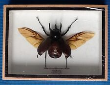 REAL 3 HORNED RHINO BETTLE INSECT CHALCOSOMA ATLAS TAXIDERMY RHINOCEROS