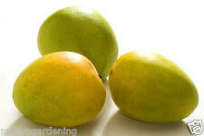 LIVE - 1 feet+ - ALPHONSO MANGO - 1 GRAFTED-HEALTHY FRUIT PLANT -  PACK IN 1 POT