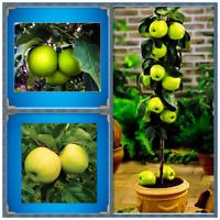 Green Apple Seeds Fresh Fruit Seeds Rare Mini Apple Bonsai Tree Green Apple Seed