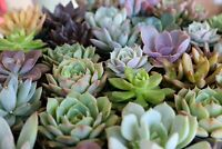 "20 Succulent DELUXE ROSETTE ONLY large 2-3"" un-rooted cuttings for propagation"