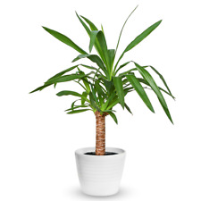Yucca Elephantipes Houseplant - Decorative Live Indoor Potted Tree In 12cm Pot