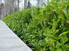 100 Cherry Laurel 3-4ft 3L Pot,Prunus Rotundifolia,Multi-stemmed Evergreen Hedge