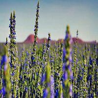 CHIA PLANT SEED SALVIA HISPANICA WHITE SEED HEALTH DIET FLOWERING BULK 200 SEEDS