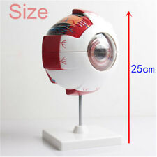Removable Human Eye Eyeball Model Anatomy Study Lab Teaching Education Equipment