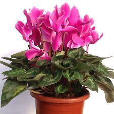5 Cyclamen Flower Seeds Persicum Non-Genetically Modified Beautiful Bonsai A145