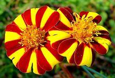"Marigold (Tagetes patula) ""Court Jester"" x 50 seeds"