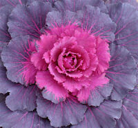 Flower Seed Ornamental Kale White Peacock 40 Seeds  Fresh Seed   FREE SHIPPING