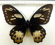 Ornithoptera p.poseidon F ex SORONG, Indonesien   No 373