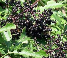 Adams Elderberry Bush - Fruit Shrub - 1 Plant in 2 Gallon Pot