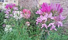 CLEOME (Spider Flower)-- 36+ seeds. Dazzling mix Pink, Purple & White. Organic!