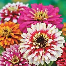 Zinnia elegans Сarousel Flower Seeds from Ukraine