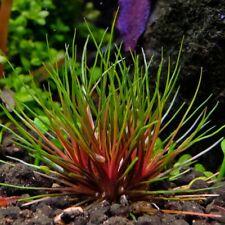 Centrolepis drummondiana (Trithuria lanterna / Blood Vomit, Eriocaulon Red)