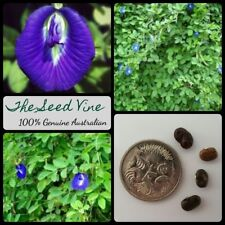 30+ BUTTERFLY PEA SEEDS (Clitoria ternatea) Fast Flowering Climbing Vine