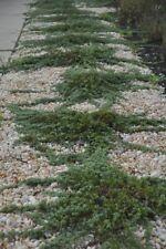 Juniper Blue Rug Wilton ~Lot of 2~ Starter Plants