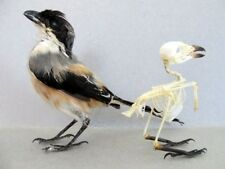 White-Collared Kingfisher Complete Bird SKELETON Partially Assembled