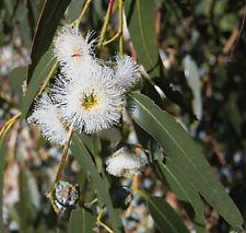 Huile essentielle d'Eucalyptus globuleux de Chine - 60ml - Pure et naturelle