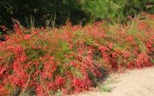5 PZ Pianta di Russelia Cespuglio arredo giardino vaso 7