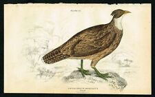 1850 Himalayan Monal Pheasant (Female), Hand-Colored Antique Engraving Print