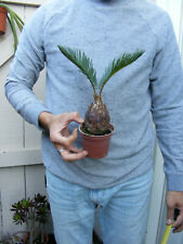 Miniature Sago Palm bonsai !