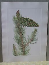 Vintage Print,LIMBER PINE,North American Wild Flowers,1925,Walcott