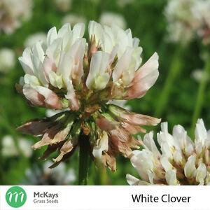 McKays White Clover Seed - 1kg - Free Postage Haifa
