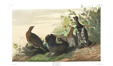 1830 John Audubon - Spotted Grouse Tetrao Canadensis Havell Edition