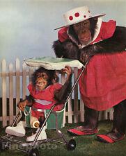 1959 MONKEY HUMOR Chimpanzee ~ Fashion MOTHER Baby Stroller Hat Animal Photo Art