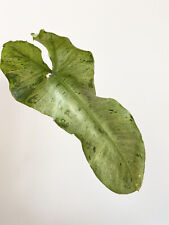 Philodendron Paraiso Verde Well Rooted Plant