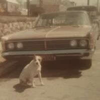 1960s VTG PHOTO Dog Pit Bull Terrier 1966 Mercury Monterey Car Long Island NY
